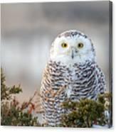 Hampton Beach Nh Snowy Owl Canvas Print