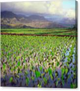 Hanalei Valley Taro Ponds Canvas Print
