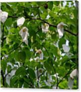 Handkerchief Tree Canvas Print