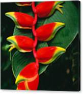 Hanging Heliconia Canvas Print