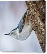 Hanging Nuthatch Canvas Print