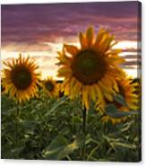 Happiness Is A Field Of Sunflowers Canvas Print