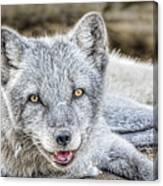Happy Arctic Fox Canvas Print