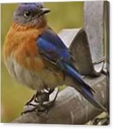 Happy New Year Male Bluebird Canvas Print