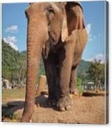 Happy Thai Elephant In Chiang Mai Canvas Print