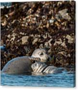 Harbor Seal And Pup Canvas Print