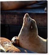 Harbor Seal In The Sun Canvas Print