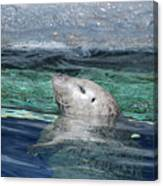 Harbor Seal Poking His Head Out Of The Water Canvas Print