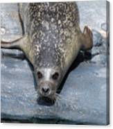 Harbor Seal Ready To Plunge Into The Water Canvas Print