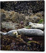 Harbor Seals Basking - Oregon Coast Canvas Print