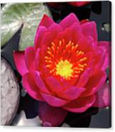 Hardy  Day Water Lily Canvas Print