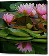 Hardy Pink Water Lilies Canvas Print