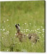 Hare On The Run Canvas Print
