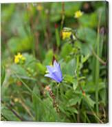 Harebell - Campanula Rotundifolia - Flower Canvas Print