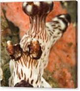 Harlequin Shrimp Hymenocera Elegans Canvas Print