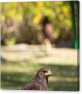 Harris Hawk Looking At Infinity Canvas Print