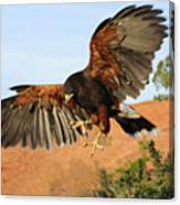 Harris Hawk On The Wing Canvas Print