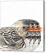 Harris' Sparrow X 3 Canvas Print