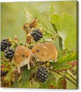 Harvest Mice On Blackberry Canvas Print