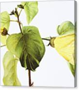 Hau Plant Art Canvas Print