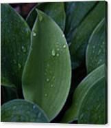 Hosta Dew Drops Canvas Print