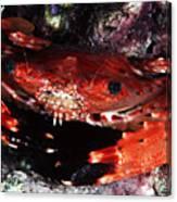Hawaii Swimming Crab Canvas Print