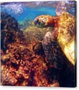 Hawaiian Sea Turtle - On The Reef Canvas Print