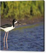 Hawaiian Stilt Bird In Water Canvas Print