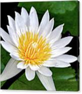 Hawaiian White Water Lily Canvas Print