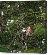 Hawk Drying Out Canvas Print