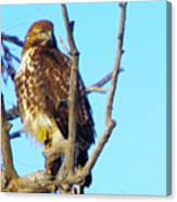 Hawk In A Tree Canvas Print