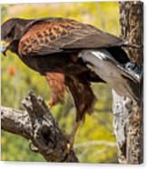 Hawk In A Tree Canvas Print