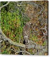Hawk In Hiding Canvas Print