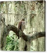 Hawk In Live Oak Hammock Canvas Print