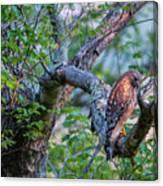 Hawk In Sunlight Canvas Print