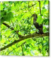 Hawk In Sycamore Canvas Print