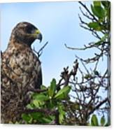 Hawk In The Tree Canvas Print