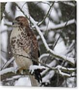 Hawk In Winter Canvas Print