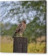 Hawk On A Fence Post Canvas Print