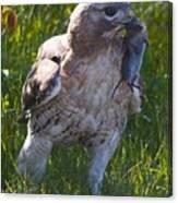 Hawk With Dinner Canvas Print