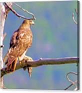Hawk With Prey Canvas Print