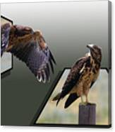Hawks Canvas Print