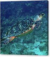 Hawksbill Sea Turtle 5 Canvas Print