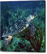 Hawksbill Sea Turtle 7 Canvas Print