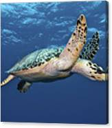 Hawksbill Sea Turtle In Mid-water Canvas Print