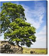 Haworth Moor Sycamore Canvas Print