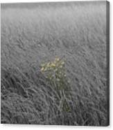 Hay Daisy In The Fog Canvas Print