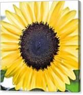 Hdr Sunflower Canvas Print