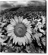 Hdr Sunflower Field. Canvas Print