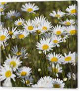 He Loves Me Daisies Canvas Print